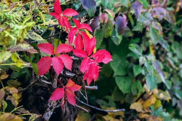 Folhas vermelhas de outono no jardim entre as folhas de outra cor