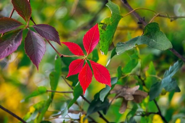 Folhas vermelhas de outono no jardim entre as folhas verdes