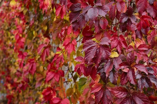 Folhas vermelhas do foco seletivo da uva inaugural em primeiro plano. fundos brilhantes de outono.