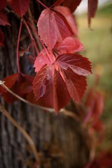 Folhas vermelhas em um vinhedo português durante o outono