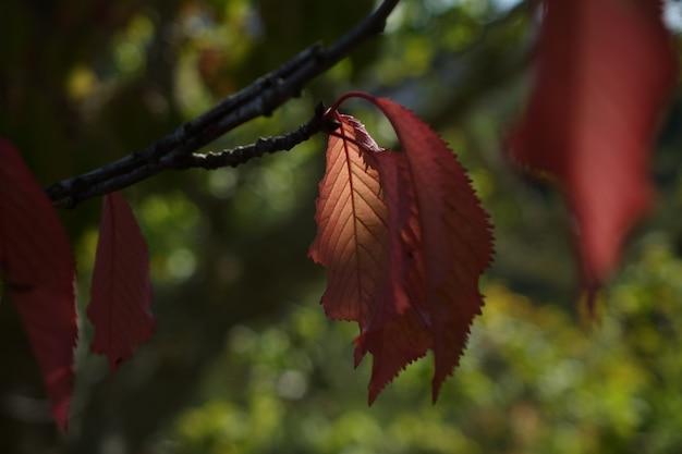 Folhas vermelhas no outono