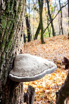 Fomes fomentarius (comumente conhecido como o fungo pavio) na árvore viva na floresta de outono