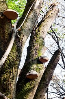 Fomes fomentarius (vulgarmente conhecido como fungo pavio) no tronco de uma árvore viva na floresta de outono