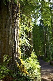 Forest road - cedro vermelho