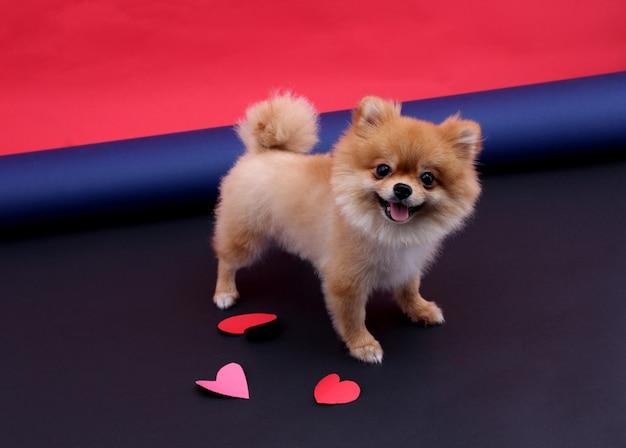 Forma do coração no dia de valentin e no cão pequeno.