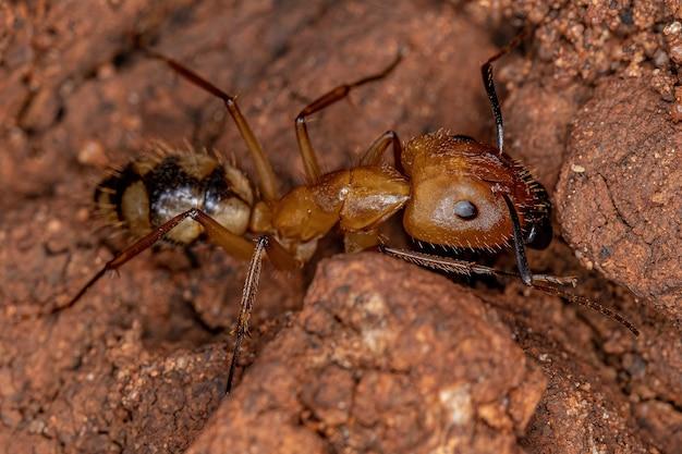 Formiga-carpinteira adulta do gênero camponotus