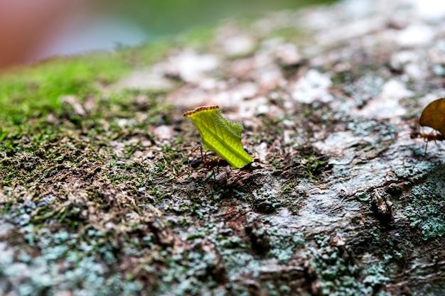 Formiga carregando folhas na árvore