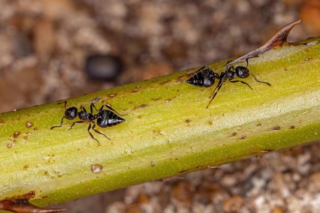Formiga coquetel adulta do gênero crematogaster