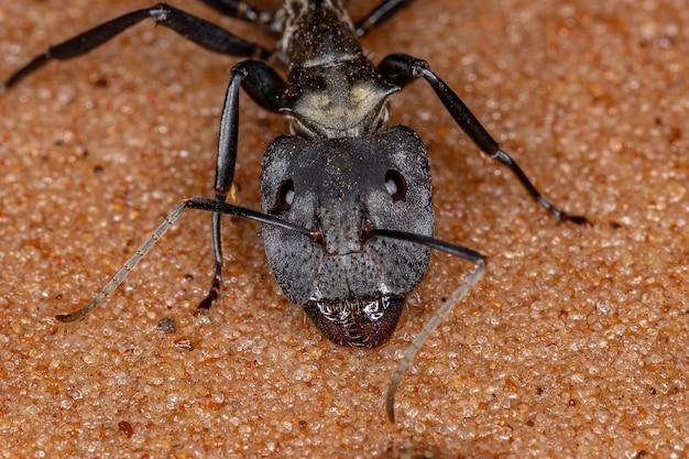 Formiga dourada cintilante da espécie camponotus sericeiventris do soldado da casta na areia
