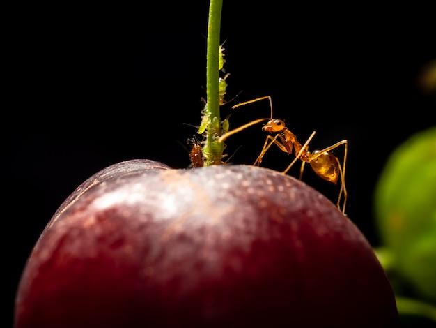 Formiga maluca amarela proteger pulgões na cereja