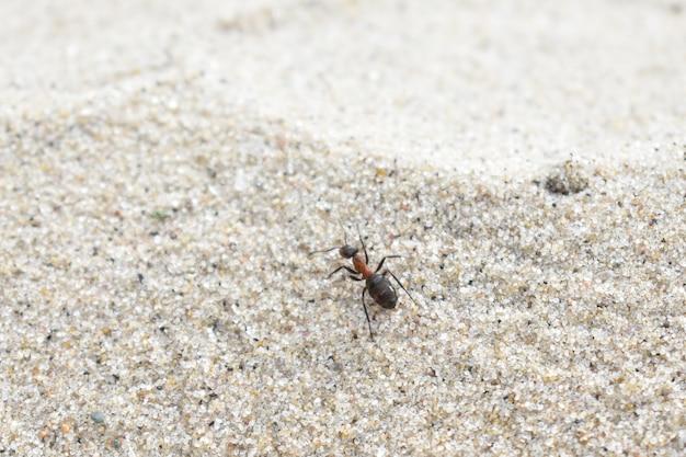 Formiga rasteja na areia