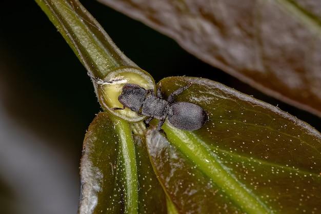 Formiga tartaruga preta adulta pequena do gênero cefalotes comendo no nectário extrafloral de uma planta