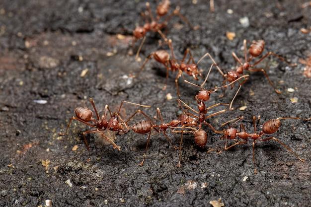 Formiga vermelha com arroz