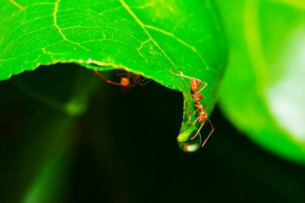 Formiga vermelha com orvalho da chuva close-up