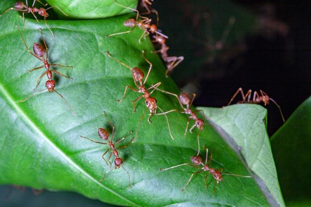 Formiga vermelha de grupo na folha verde