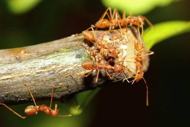Formiga vermelha do grupo na árvore da vara na natureza na floresta tailândia