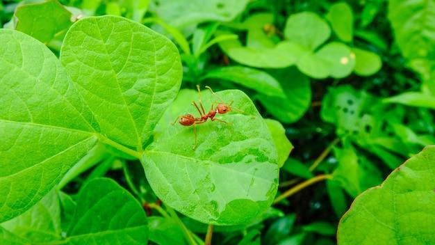 Formiga vermelha em folhas verdes em dia chuvoso