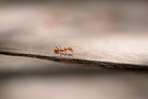 Formiga vermelha macro