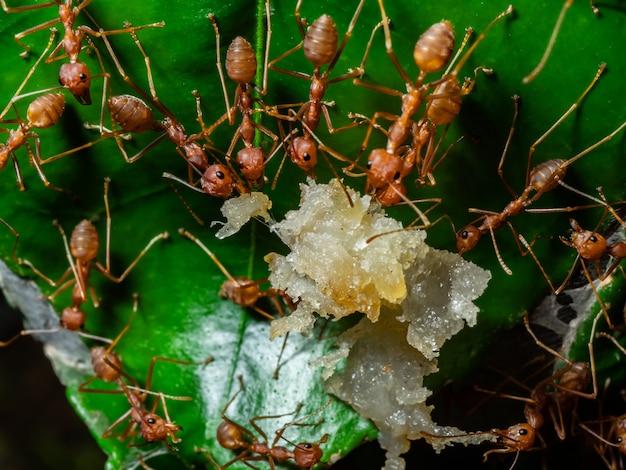 Formiga vermelha na vida selvagem