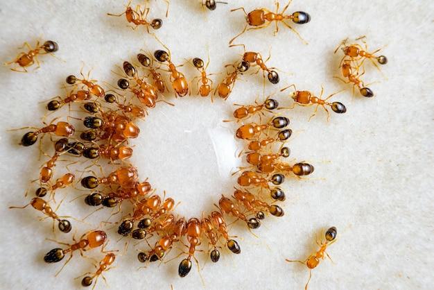 Formigas comem doce em forma de círculo redondo