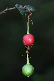 Formigas incríveis carregam frutas mais pesadas do que seus corpos
