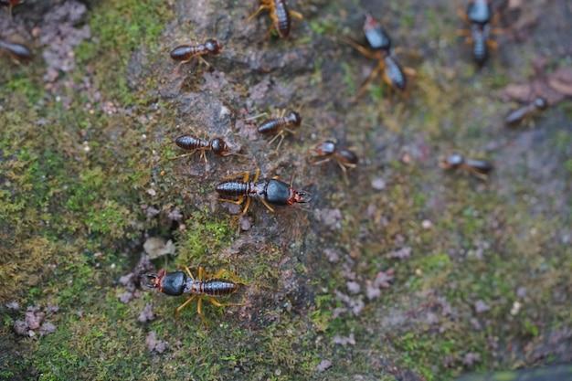 Formigas pretas-pheidole jeton driversus