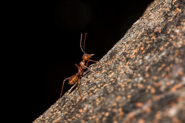 Formigas vermelhas na árvore