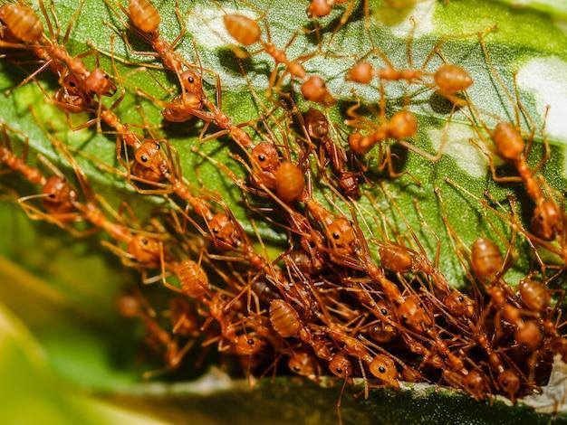 Formigas vermelhas