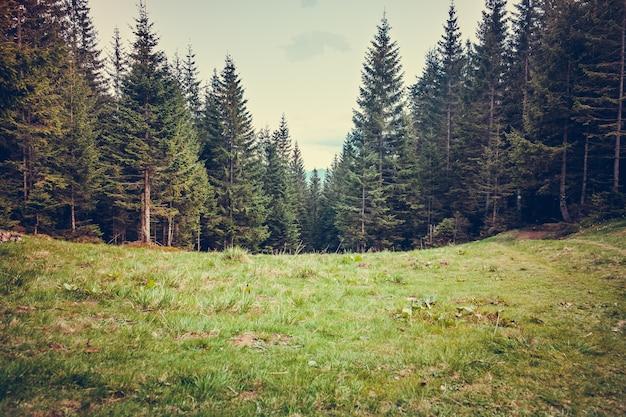 Forrest de pinheiro