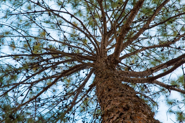 Forrest de pinheiros verdes