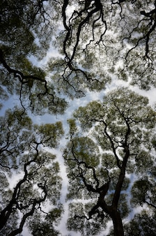 Foto abstrata de ângulo amplo de árvores tipuana tipu contra o céu