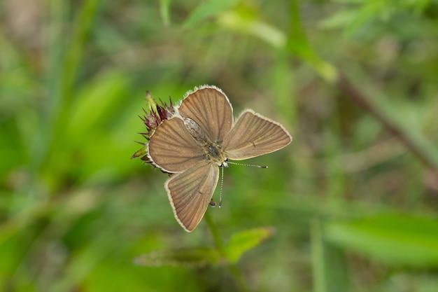 Foto aérea de uma borboleta marrom em uma flor contra um fundo desfocado