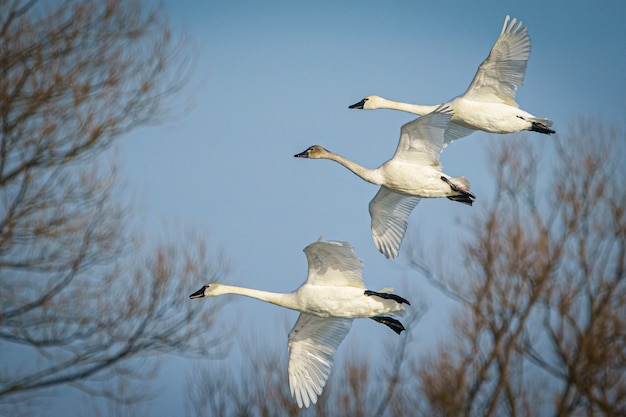 Foto ampla de um grupo de cisnes-tundra voando e migrando em um céu nublado