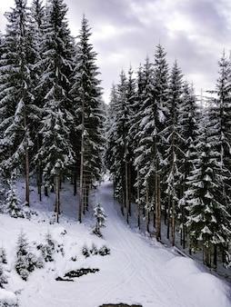 Foto ampla de uma floresta cheia de pinheiros com céu azul no inverno
