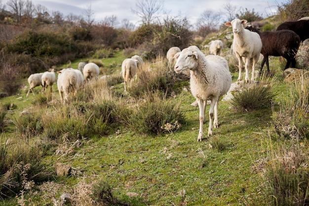 Foto ao nível dos olhos de um rebanho de ovelhas brancas e negras em um campo