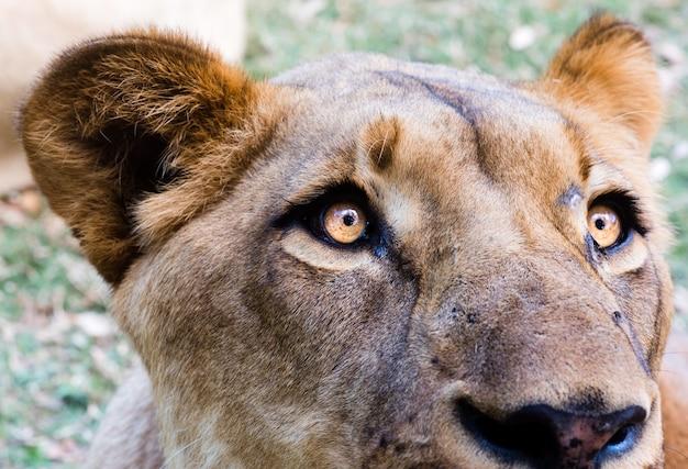 Foto aproximada da cabeça de uma leoa