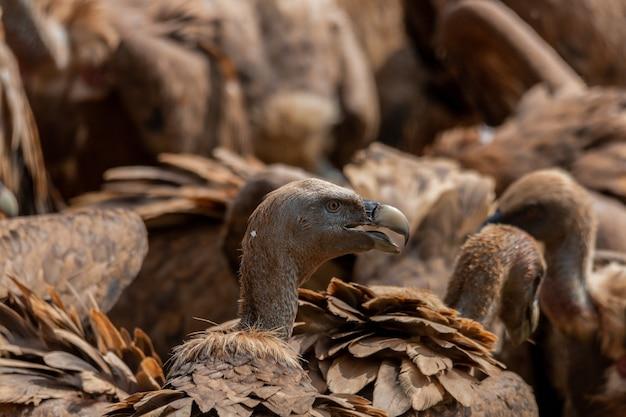 Foto aproximada de abutres-grifo