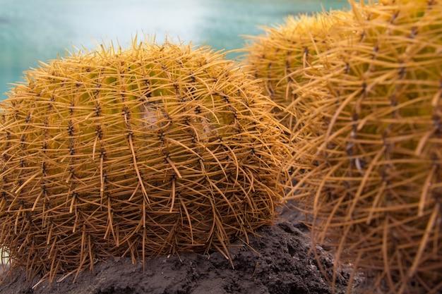 Foto aproximada de alguns cactos redondos com espinhos para fora, capturada em um dia ensolarado