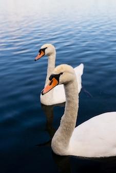 Foto aproximada de cisnes brancos no lago
