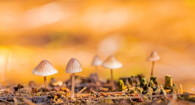 Foto aproximada de cogumelos mycena em uma plantação de pinheiros na floresta de tokai, na cidade do cabo