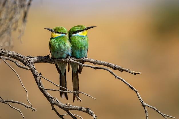Foto aproximada de dois abelharucos empoleirados em um galho de árvore