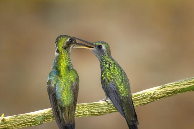 Foto aproximada de dois colibris empoleirados em um galho de árvore