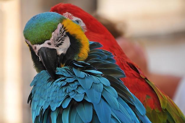 Foto aproximada de duas araras coloridas