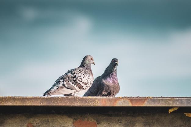 Foto aproximada de duas pombas de pé no telhado