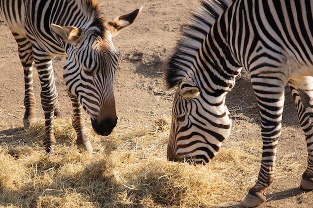 Foto aproximada de duas zebras comendo feno com uma bela exibição de suas listras