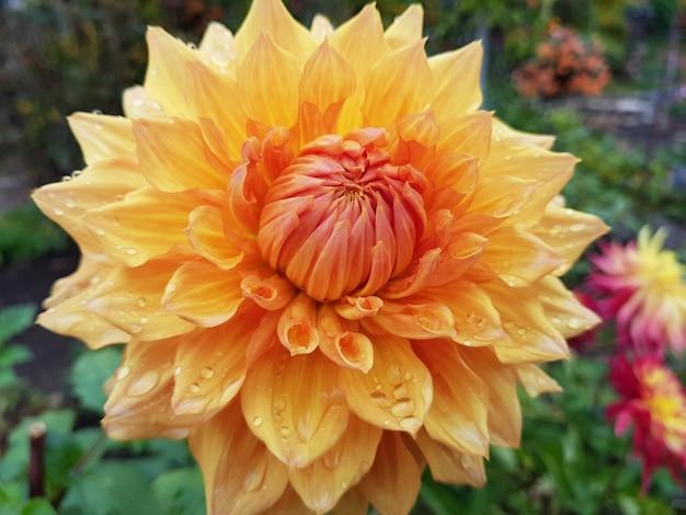 Foto aproximada de flor dália amarela