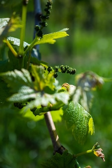 Foto aproximada de folhas de videira