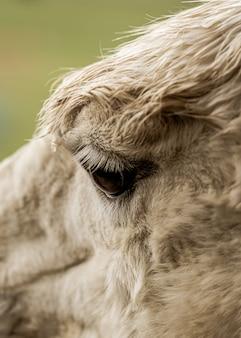 Foto aproximada de olhos de lhama brancos