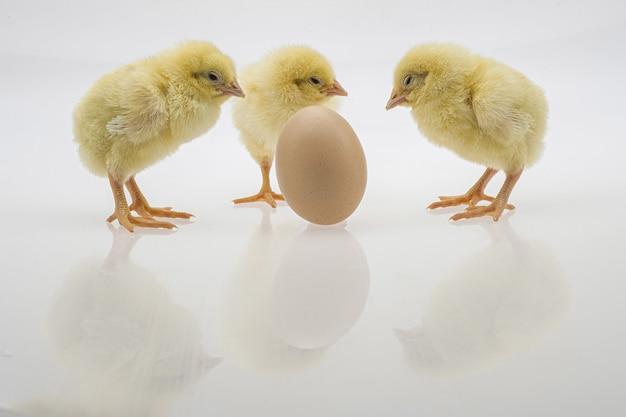Foto aproximada de pintinhos fofos perto de um ovo em uma superfície branca