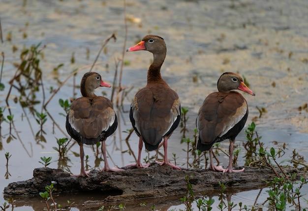 Foto aproximada de três patos fofos sentados em um pedaço de madeira